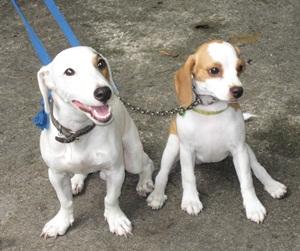 Milky n Beagle