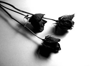 กุหลาบสีดำ